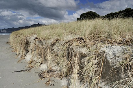 Spinifex growing down a storm erosion scarp. Photo: J. Barran