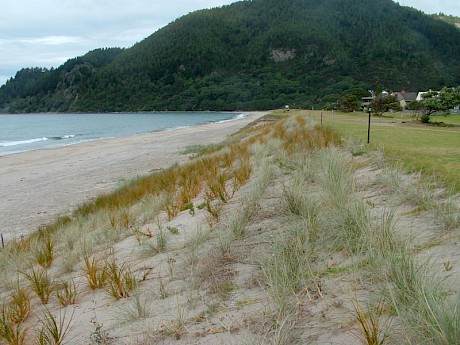 Pauanui one year on from planting. Photo: Coastline Consultants