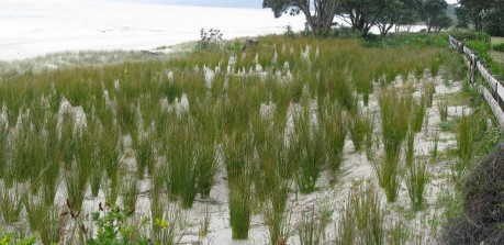 Whangapoua Beach - restoration work end of Year 1