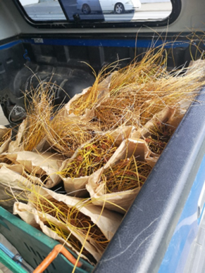 February 2018: Harvested pingao seed to be delivered to the horticulture programme at the Otago Correctional facility. The partnership between an agency, outreach and communities is going to help break down barriers for community groups, develop inmate skills and broaden the habitat area of this endangered plant on the Otago Coastline.